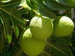 breadfruit_npr