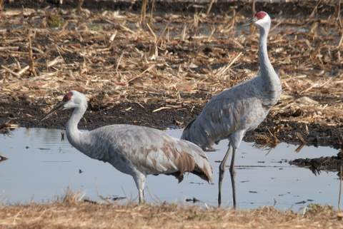 California Farmers Work to Create a Climate Change Buffer for Migratory Water Birds